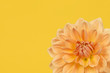 Detail of yellow and orange chrysant flower on a yellow background - 185489741