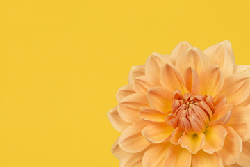 Detail of yellow and orange chrysant flower on a yellow background