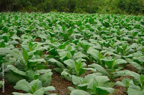 Aluminium Groene Tobacco field