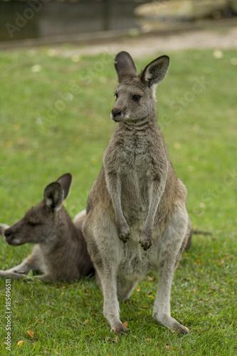 Aluminium Kangoeroe Eastern Gray Kangaroos