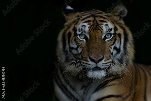 Aluminium Panter Close-up bengal tiger and black background. Copy space