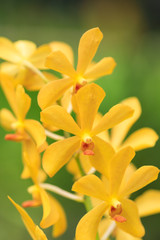 Yellow wild orchid blooming in a tropical rainforest