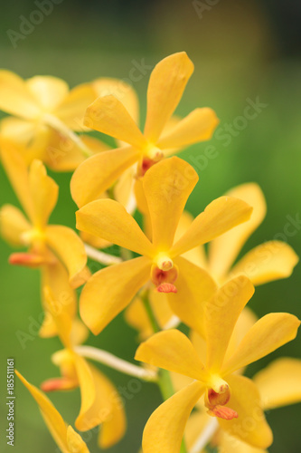Yellow wild orchid blooming in a tropical rainforest - 185511161
