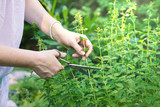 woman collects herbs, collect oregano using scissors, organic herbal garden  - 185522763