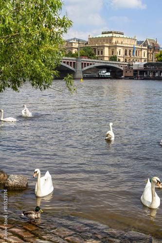 Swans on the Vltava river in Prague Poster