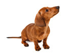 Puppy breed smooth-haired dachshund, isolated on white background.