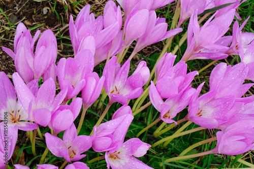Leinwanddruck Bild Crocus (crocuses or croci) flowers