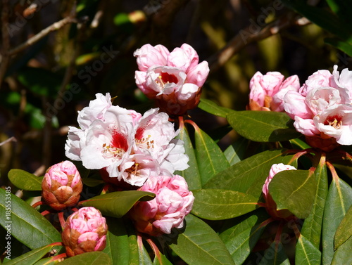 Aluminium Azalea Closeup on a pink Rhododendron with buds and flowers