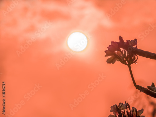 Poster Oranje eclat The silhouette of Plumeria flowers with the golden sky and sunset