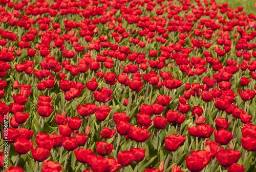 Fotobehang Tulpen Поле красных тюльпанов