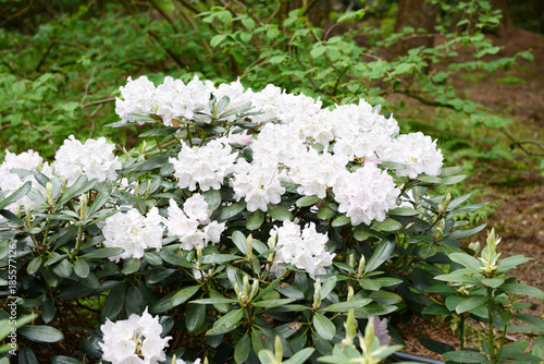 Aluminium Azalea Rhododendron bush bloosom on springtime.