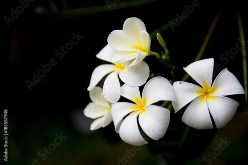 Aluminium Plumeria Champa white flowers in Laos, Thailand, Myanmar, Cambodia, Indonesia, Southeast Asia.