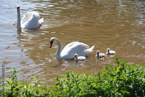 Fotobehang Zwaan Schwanfamilie im Wasser