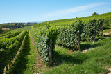 Green vineyards on hill, blue sky In summer in Italy