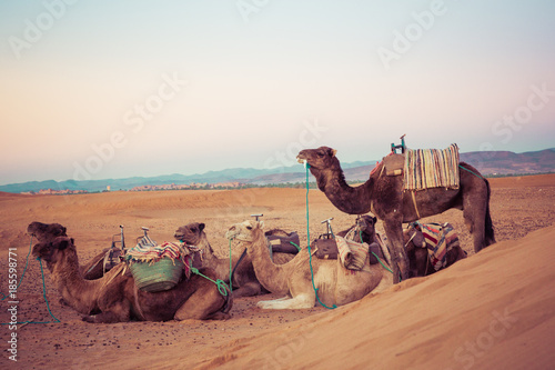 Camels on the sand dunes in the Sahara Desert. Morocco, Africa. - 185598771
