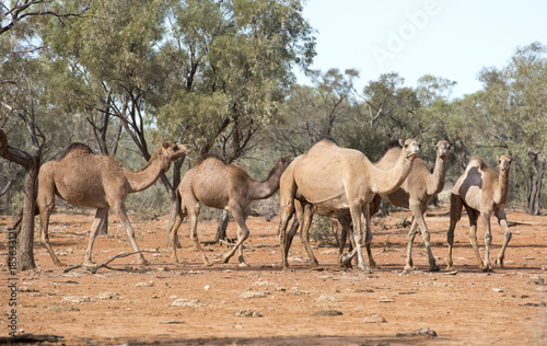 Fotobehang Kameel wild camels in outback Queensland, Australia.
