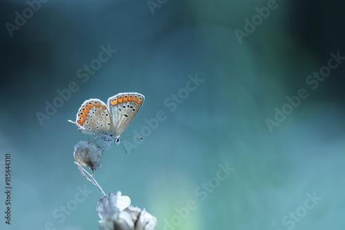 Una farfalla su un fiore su sfondo blu. - 185644310