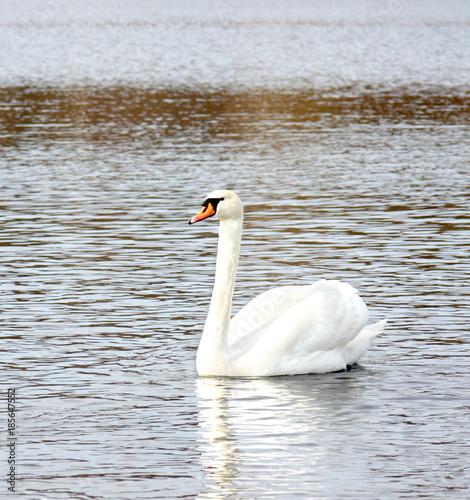 Fotobehang Zwaan White swan on a water surface