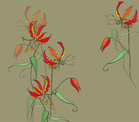 Extraordinarily fantastic flowers Gloriosa, bright red with a yellow rim