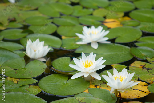 Water Lily at London pond
