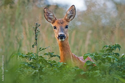 Aluminium Hert Portrait of roe deer doe female in summer. Close-up of wild animal with fresh colors.