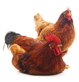 Red rooster and hen. - 185684150