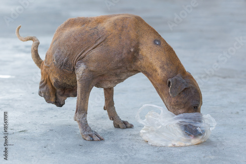 Aluminium Thailand Disabled dog two legs eating food in temple , Thailand