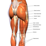 Female Hip and Leg Muscles Labeled - 185694189