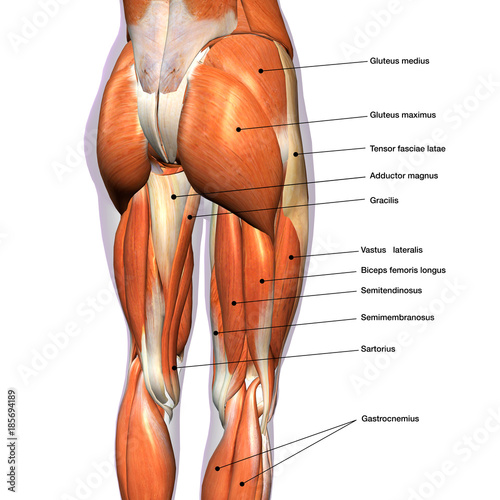 Female Hip and Leg Muscles Labeled | Buy Photos | AP Images | DetailView