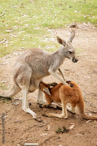 Aluminium Kangoeroe Joey Kangaroo and Mother Australia