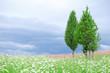 juniper in the desert among the flowering grasses