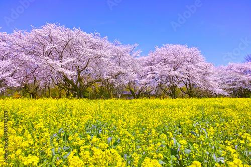 Deurstickers Purper 満開の桜と菜の花