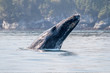 Young Humpback whale (Megaptera novaeangliae) letting its head fall on the water near Vancouver Island