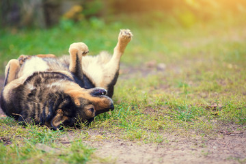 Happy dog enjoying life. Dog lying on the back outdoor on the grass