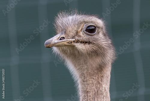 Fotobehang Rotterdam Ostrich head