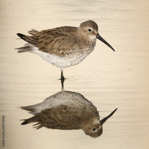 Foto op Canvas Natuur Dunlin in winter plumage reflecting in a pond in late afternoon light - Estero Island, Florida