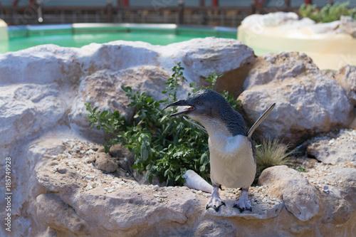 Aluminium Pinguin Pinguin auf Felsen mit blick nach links ruft nach Partner