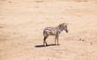 Zebra standing in on Safari