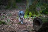 Friedlicher einsamer Wolf im Wald - 185755936