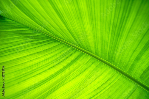 Banana leaf. Background and texture. - 185758710