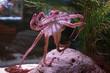 Octopus clings to aquarium tank glass wall, Cabrillo