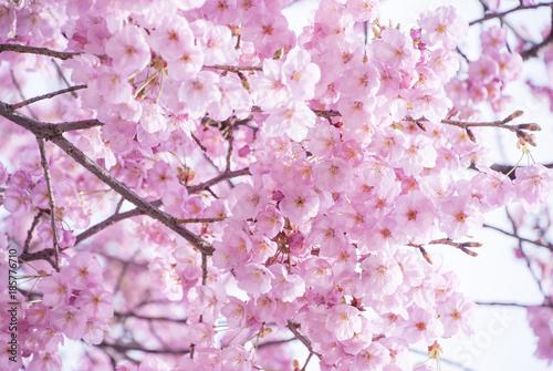 Aluminium Purper 満開の桜