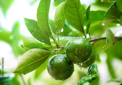 Close up of green limes on the tree with raindrops. Green citrus