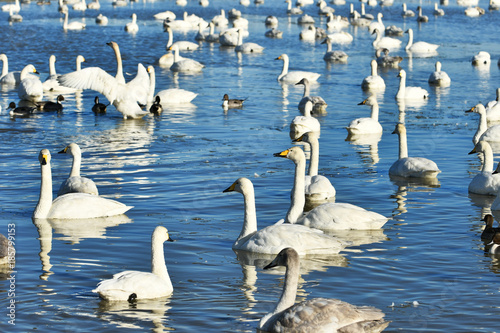 Fotobehang Zwaan 池の白鳥たち