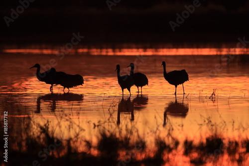 Fotobehang Bruin Sandhill Crane Bosque del Apache Wildlife Reserve New Mexico USA