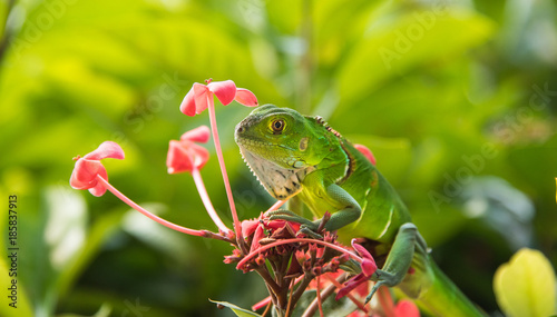Small Green Iguana On Red Flowers