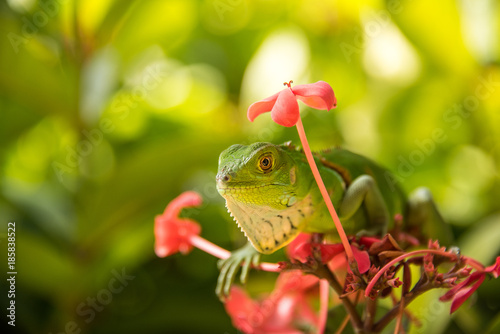 Plexiglas Kameleon Small Green Iguana On Red Flowers