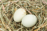 Farm fresh eggs in a nest of hay - 185846918