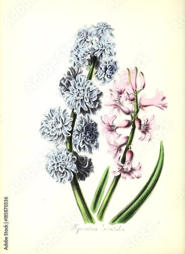Botanical illustration - 185870336