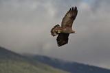 Golden eagle - 185873557
